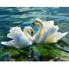 Stunning Swans in the Lake